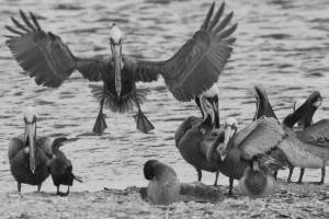 Brown Pelican on Clear Creek
